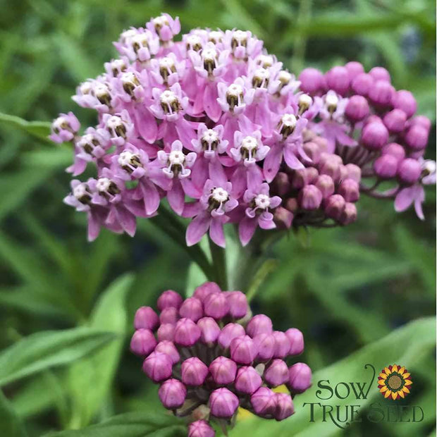 Milkweed seed - Swamp : Tall variety best for attracting monarchs.
