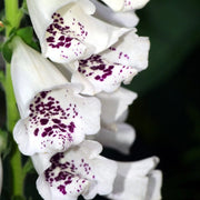 Foxglove - Excelsior Mix - Sow True Seed