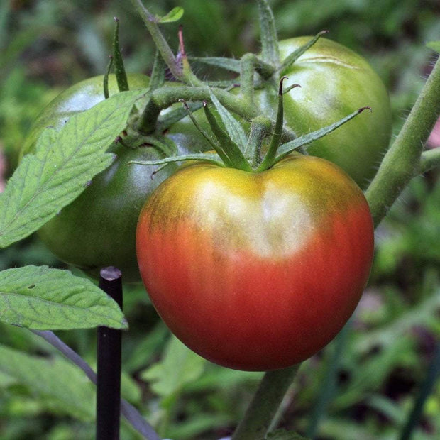 Slicing Tomato - Bear Creek - Sow True Seed