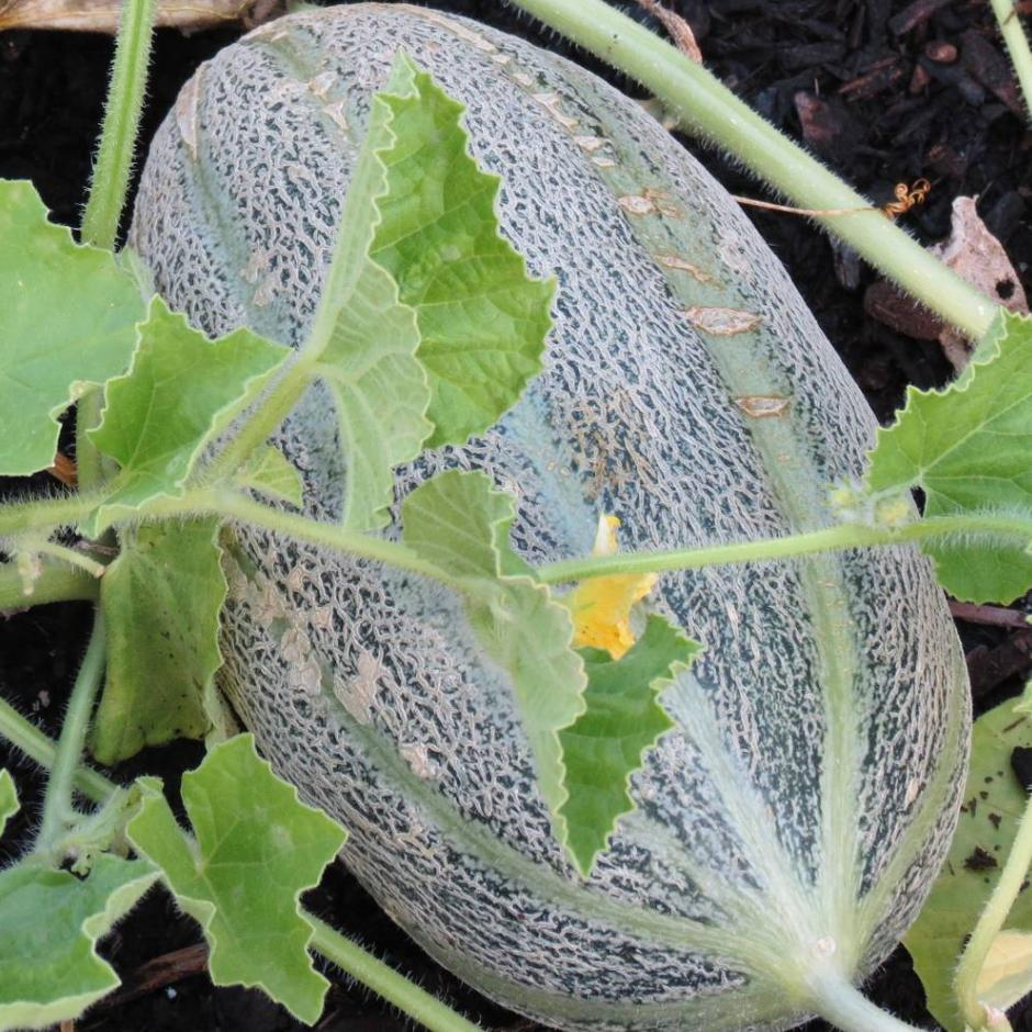 Organic Hearts of Gold Melon seeds- 4 lb. heirloom fruit with orange flesh and sweet aroma.