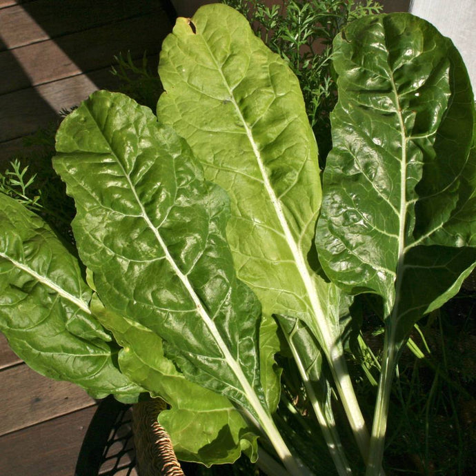 Swiss Chard Seeds, Heirloom Lucculus all season greens, heat tolerant chard, frost tolerant chard