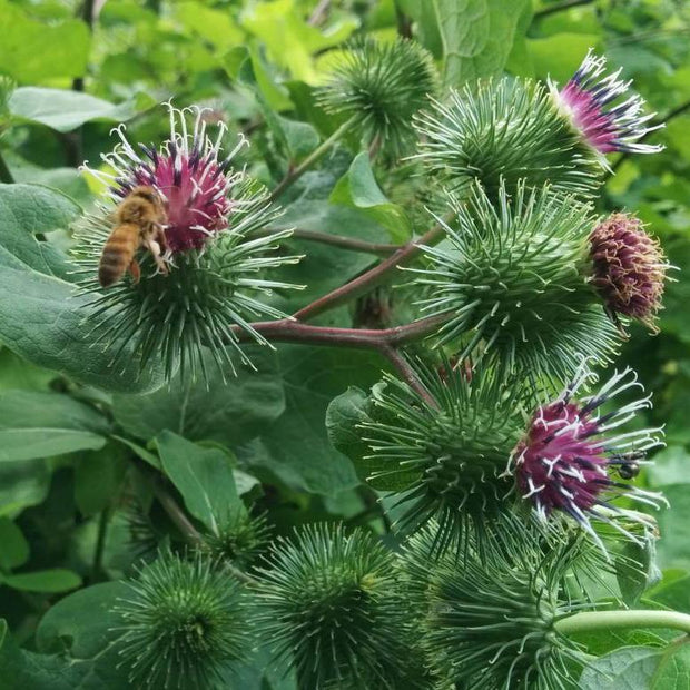 Herb - Burdock - Sow True Seed