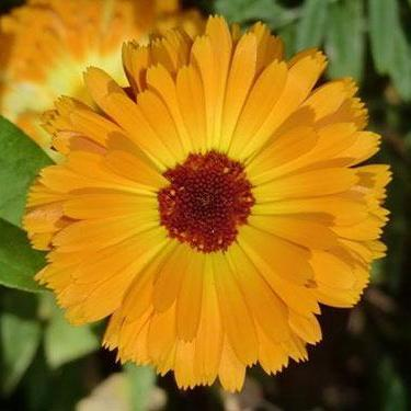 Calendula - Pacific Beauty - Sow True Seed