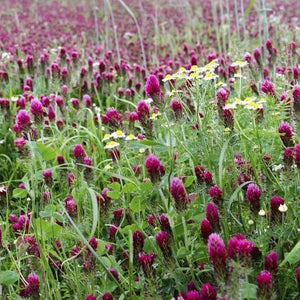Crimson Clover Cover Crop : Supportive of bee populations, great for spring planting.