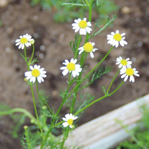 "Herb seed - Chamomile, German : Branched, erect stems grow to 24"" tall."