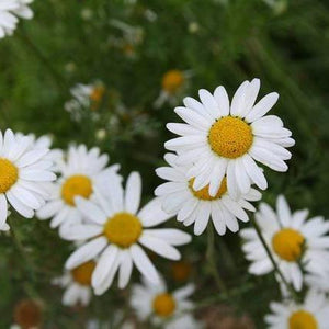 "Herb seed - Chamomile, Roman : Evergreen forms a thick, 6"" mat of sweet scented, bright leaves with delicate yellow flowers."