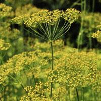 Herb seed - Mammoth Long Island Dill : Vigorous variety popular for pickling.