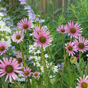 Echinacea - Tennessee Purple Coneflower : Southeastern native wildflower with bright rose petals.