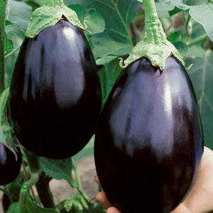 Organic Black Beauty Eggplant seeds, Open-pollinated organic brinjal aubergine seeds
