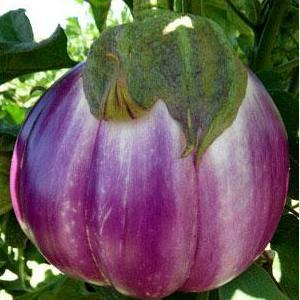 Heirloom Organic Rosa Bianca eggplant seed, lavender colored creamy flavor