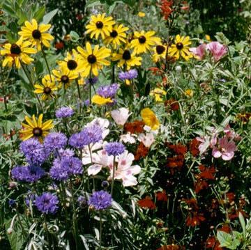 Flower Mix - Hummingbird, Butterfly, Songbird : Flowers grow over 3' and create a meadow effect with nectar-filled flowers.