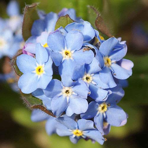 Forget-Me-Not seeds : Attractive clusters of blue flowers.