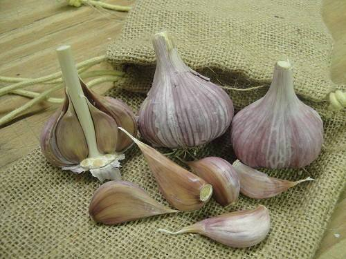 Hardneck Garlic - Chesnok Red, ORGANIC - Sow True Seed
