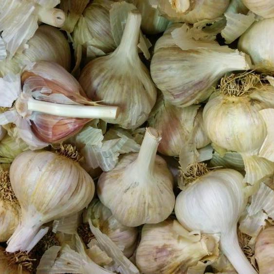 Hardneck Garlic - German White, ORGANIC - Sow True Seed