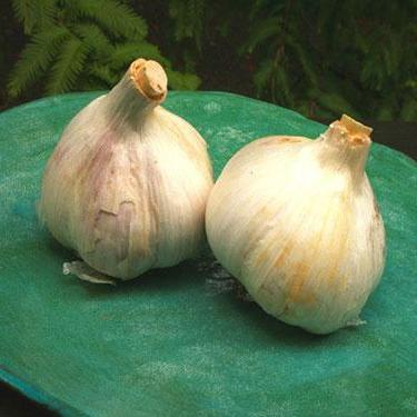 Hardneck Garlic - Music, ORGANIC - Sow True Seed