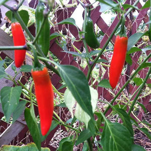 "Hot Pepper seeds- Serrano Tampequino: Hot abundant 2"" fruits ripen green to red."