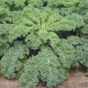 Vates Kale seeds, Blue Curled Scotch Organic Kale seeds