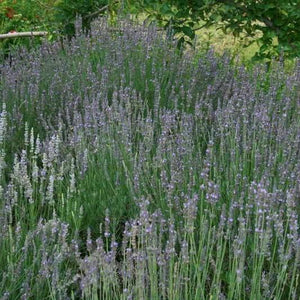 "Herb seed - English Lavender : Tolerant perennial grows 12-20"" tall."
