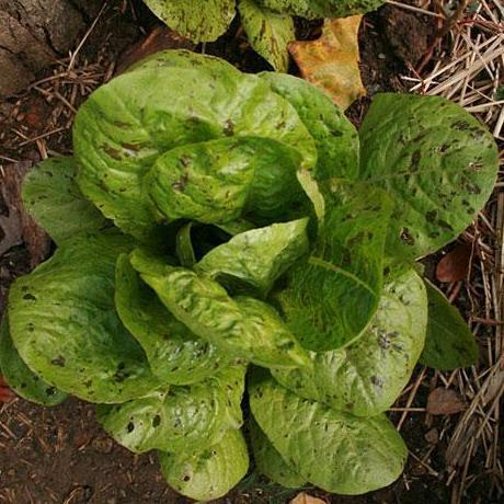 Sow True Seed Romain Lettuce Freckles seed Green leaves with red splotches.