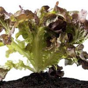 Lettuce - Red Salad Bowl, ORGANIC - Sow True Seed