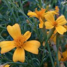 "Marigold seed - Lemon Gem : Charming 1"" five petaled flowers."