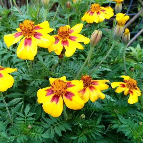 Marigold seed - Naughty Marietta : Bright yellow blooms with streaked mahogany centers.