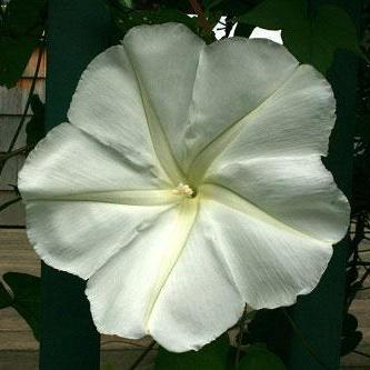 "Moonflower seed - Snow-white fragrant 6"" blooms open at sunset."