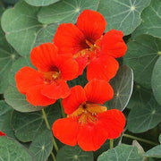 Nasturtium seed - Empress of India : Heirloom bright red edible flowers.