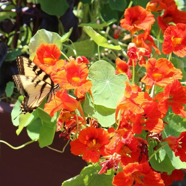 Nasturtium seed - Tall Trailing Mix : Edible flowers, tendrils up to 3' long.