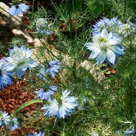 Nigella - Love in a Mist