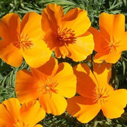 Poppy - California - Sow True Seed