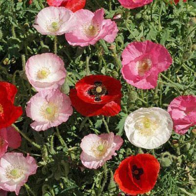 Poppy seed - Corn Poppy Mix : Ruffled flowers edged with pink, red, and rose bleed into white centers.