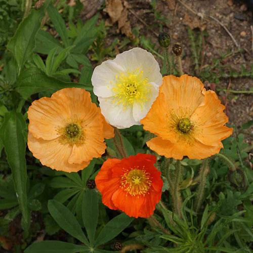Poppy seed - Iceland Poppy : Billowy tissue petals of creamy pastels.