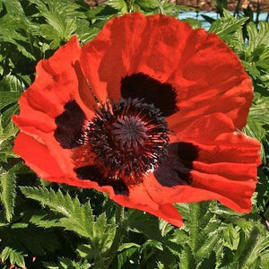 Poppy seed oriental tall plants bear 3 4 red orange blossoms poppy seed oriental tall plants bear 3 4 red orange blossoms mightylinksfo