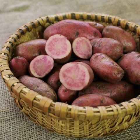 Potato - Red Thumb Fingerling, ORGANIC - Sow True Seed
