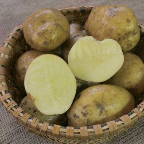 Potato Yukon Gold, Certified Yukon Gold Seed Potato, yellow fleshed