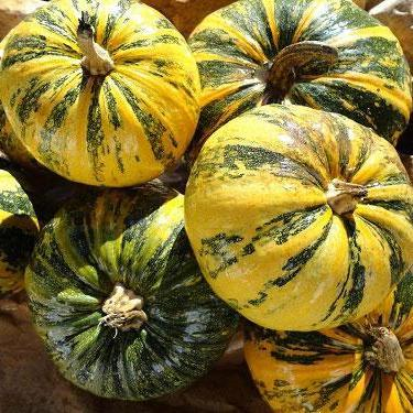Pumpkin seeds - Styrian Hulless : Fast-growing for protein-rich seeds to eat toasted or raw or pressed for oil.