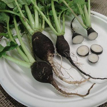 Organic Radish seeds- Black Spanish Round: Heirloom black skinned large round radishes, best for fall harvest.