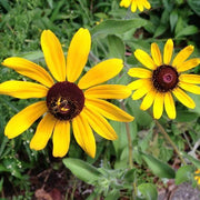 Rudbeckia seed - Black-Eyed Susan : Cut flower lasts up to 10 days.