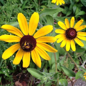 rudbeckia seed black eyed susan cut flower lasts up to 10 days