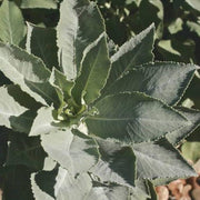 Herb - Sage, White - Sow True Seed