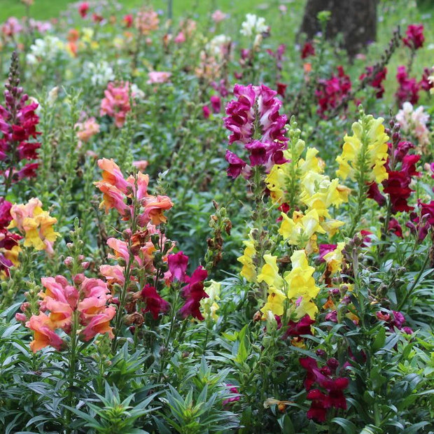 Snapdragon seeds - Tetra Mix : Late spring blooming cut flower.