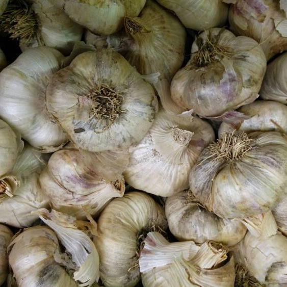 Softneck Garlic - Inchelium, ORGANIC - Sow True Seed