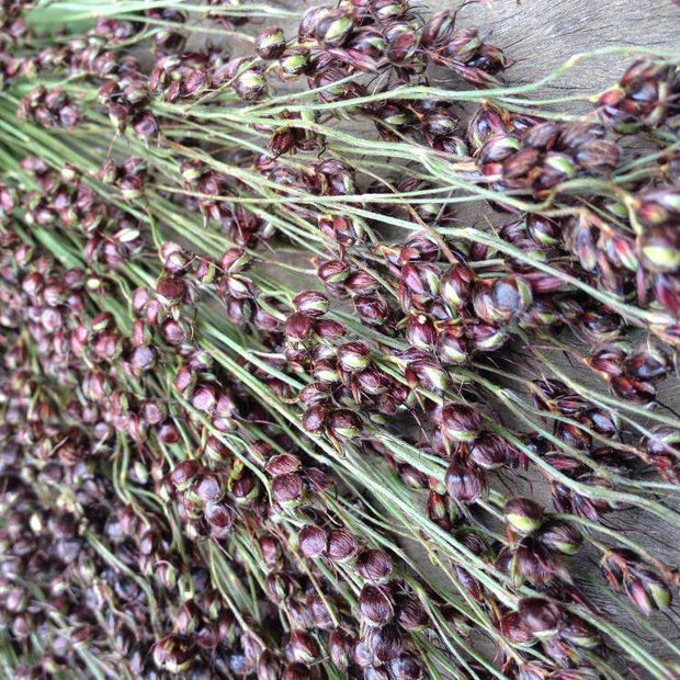 Sorghum seeds - Black Amber Cane: Heirloom 6-8' tall stalks with shiny black seeds.