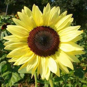 "Organic Sunflower seed - Lemon Queen : 5-6' tall annual has 5-6"" blooms with lemon-colored petals."