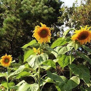 Sunflower seed - Mammoth Grey Stripe : Long blooming classic sunflower.