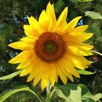 "Sunflower seed - Sunspot Dwarf : 10"" blooms with bright yellow petals."