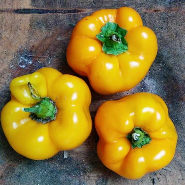 Sweet Pepper seeds - Golden California Wonder, Organic Open-Pollinated ripens green to golden-yellow to deep orange.