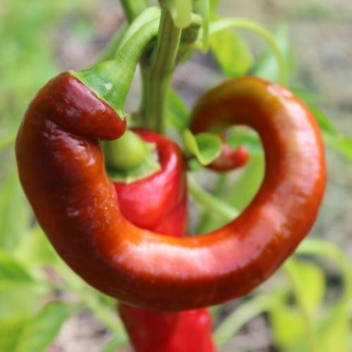 Organic Sweet Pepper seeds - Jimmy Nardello : Heirloom productive plants produce elongated fruits that ripen from green to red.
