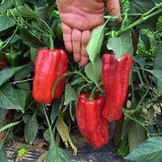 "Sweet Pepper seeds- Marconi Red : Heirloom Italian variety grows 12"" long."